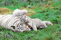 white tiger, a pigmentation variant of the Bengal tiger, Panthera tigris tigris, mother and cub, playing, endangered species, India, Asia