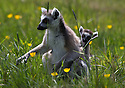 16/05/16<br /> <br /> &quot;Where are we going mum?&quot;<br /> <br /> Three baby ring-tail lemurs began climbing lessons for the first time today. The four-week-old babies, born days apart from one another, were reluctant to leave their mothers&rsquo; backs to start with but after encouragement from their doting parents they were soon scaling rocks and trees in their enclosure. One of the youngsters even swung from a branch one-handed, at Peak Wildlife Park in the Staffordshire Peak District. The lesson was brief and the adorable babies soon returned to their mums for snacks and cuddles in the sunshine.<br /> All Rights Reserved F Stop Press Ltd +44 (0)1335 418365