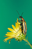 Blister Beetle, Meloidae, adult on Golden Aster, Willacy County, Rio Grande Valley, Texas, USA, May 2004