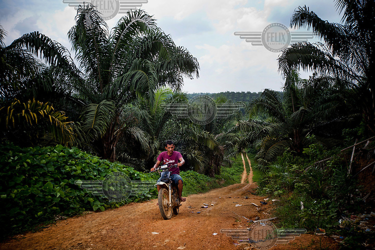 A local indigenous man rides a bike through a dirt trail that runs through a palm oil plantation in Jambi. With the compensation money from palm oil companies, many locals have since bought motorcycles and other items that they feel enhances their lives. Indonesia is the largest producer of palm oil in world, with output estimates of about 23-25 million tonnes in 2012, from an estimated 8.2 million hectares of Indonesia land, mainly in Sumatra, Kalimantan and Sulawesi.
