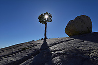 Jeffrey pine (Pinus jeffreyi), Olmsted Point, Yosemite National Park, California, USA