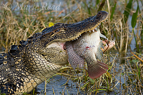 American Alligator (Alligatoe mississipiensis) eating a large fish (introduced cichlid). Viera, Florida, USA