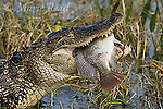 American Alligator (Alligatoe mississipiensis) eating a large fish (introduced cichlid). Viera, Florida, USA