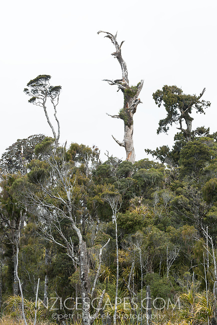 Dead kahikatea tree in coastal rainforest at Ship Creek, South Westland, West Coast, UNESCO World Heritage Area, New Zealand, NZ