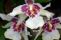 Unidentified purple Orchid.