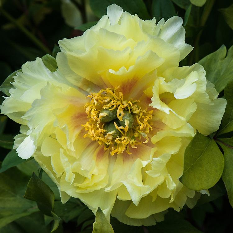 Paeonia 'Yellow Heaven', mid May. An Itoh hybrid peony.