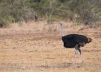 The ostrich is the world's largest bird.