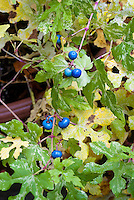 Ampelopsis brevipedunculata var. maximowiczii 'Elegans' in berries fruit, blue berry, Variegated Porcelain berry vine