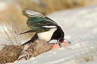 Black-billed Magpie (Pica hudsonia) scavenging on dead bighorn sheep lamb.  Wyoming, winter.