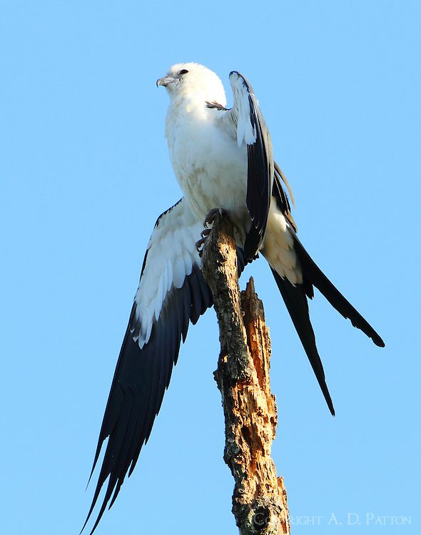 Adult swallow-tailed kite in another airing-out pose