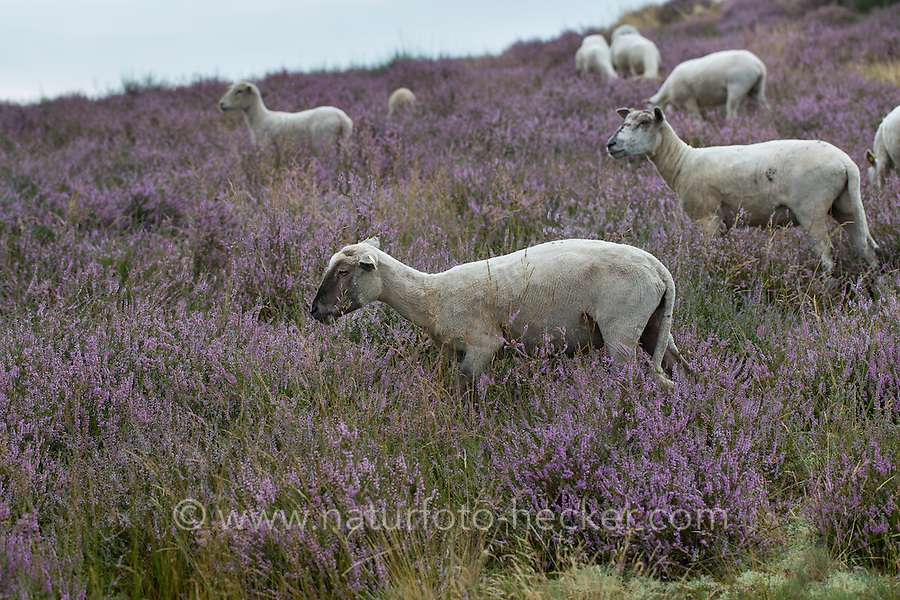 Heidefläche, Heide, Heidegebiet, Beweidung mit Schafen, Schaf, Besenheide, Heidekraut, Calluna vulgaris, Ling, Scots Heather, Callune, Bruyère commune, heath, moorland, ling, grazing, sheep. Naturschutzgebiet Bretziner Heide, Mecklenburg-Vorpommern