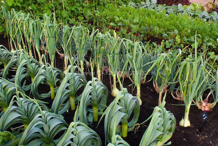 Onion Billy Lamb, leeks, chard, shallots, growing in vegetable garden in good rich dark black soil dirt