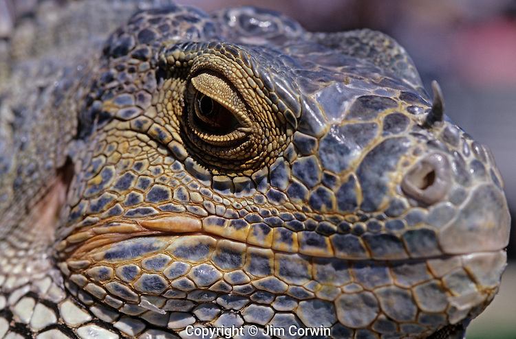 Iguana Lizard At Family Reptile Show Close Up Of Face And