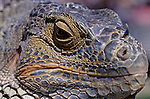 Iguana lizard at family reptile show close-up of face and scales