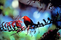 Iiwi (vestiaria coccinea), a Hawaiian honeycreeper, on kolii (Trematolobelia kauaiensis), Pihea Trail, Kokee State Park, Kauai. Red feathers once used in feather cloaks.