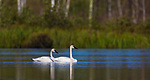 Pair of trumpeter swans in northern Wisconsin.