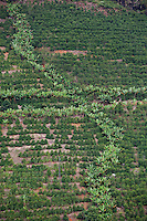Conceicao do Castelo_ES, Brasil...Plantacao de bananas e cafe ao lado de trecho da rota Imperial...Agriculture of bananas and coffee next to the Imperial route...Foto: LEO DRUMOND / NITRO