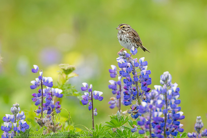 Savannah sparrow perched on lupine blossoms, Katmai National Park, Alaska Peninsula, southwest Alaska.