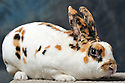 23/11/12 - MONTLUCON - ALLIER - FRANCE - Concours National Avicole de Montlucon. Lapin Reix dalmatien tricolore. Eleveur Philippe Leteve - Photo Jerome CHABANNE