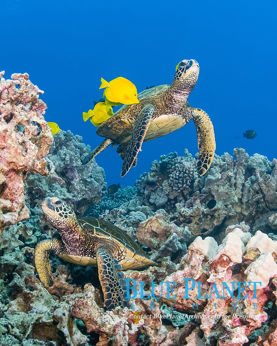 green sea turtles, Chelonia mydas ( Threatened Species in Hawaii; Endangered elsewhere), being cleaned of algae by yellow tangs, Zebrasoma flavescens ( herbivorous surgeonfish ), Puako, Kona, Hawaii, Indonesia,. ( Central Pacific Ocean )