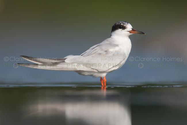 Forster's Tern (Sterna forsteri), East Pond, Jamaica Bay Wildlife Refuge