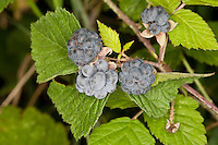 Kratzbeere, Kratz-Beere, Acker-Brombeere, Rubus caesius, European Dewberry, Ronce bleuâtre, Früchte, Frucht