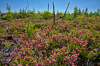 Bog laurel (Kalmia sp) blossoms in burnt over forest<br />