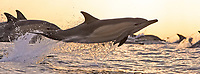silhouette, long beaked common dolphins, Delphinus capensis, leaping, South Africa