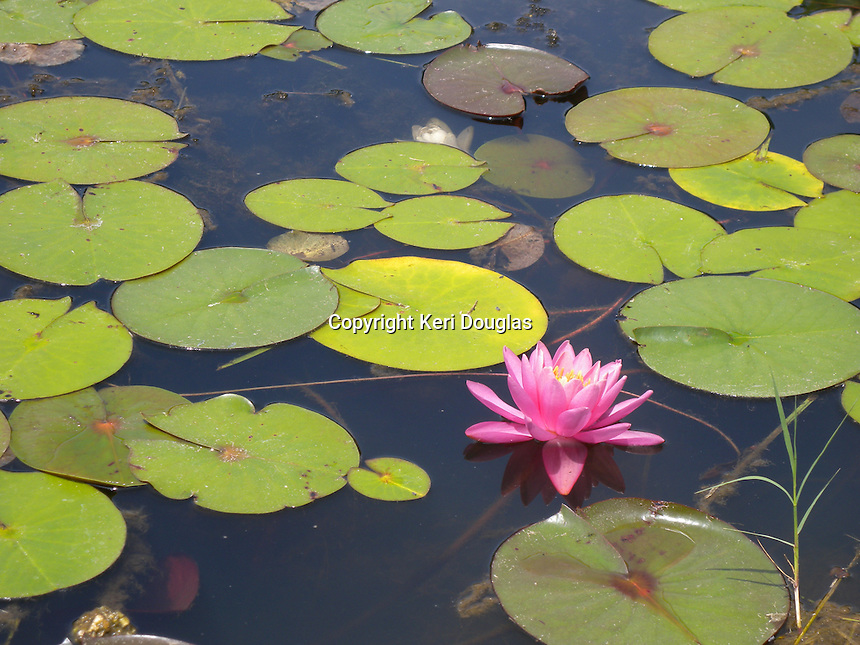 Lotus pond, Wat Lao Buddhavong Temple, Catlett, Virginia