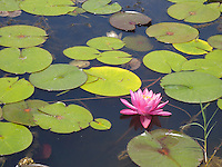 Lotus pond, Wat Lao Buddhavong Temple, Catlett, Virginia