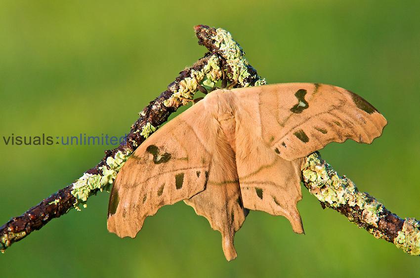 Saturnid Moth male (Titaea lemoulti).