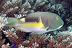 Choerodon anchorago, Anchor tuskfish, Raja Ampat, Indonesia