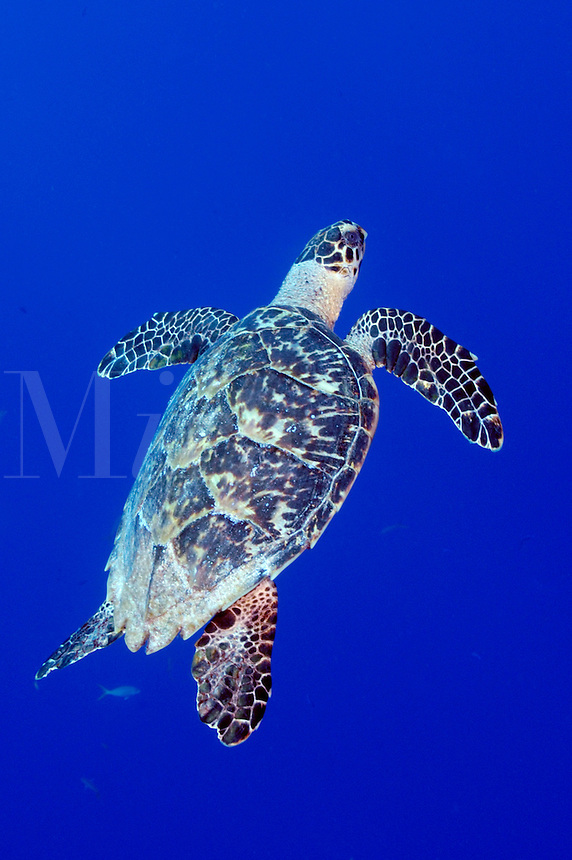 Hawksbill Turtle (Eretmochelys imbriocota) and Creole Wrasse swimming in Little Cayman, Cayman Islands