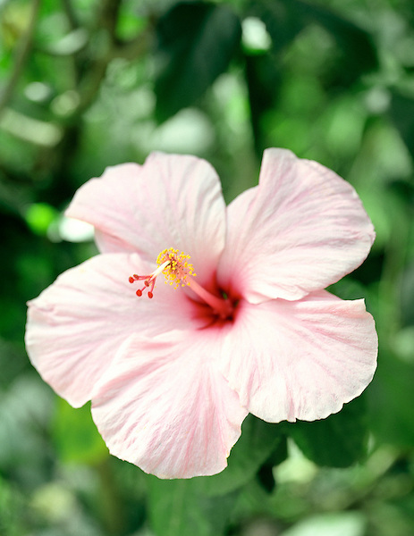 EDMUND FOREST RESERVE, ST. LUCIA : A close up of a pink hibiscus flower.Edmund Forest Reserve. St Lucia.