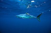 Shortfin mako shark, Isurus oxyrinchus, with satellite tag for shark research, California, USA, East Pacific Ocean