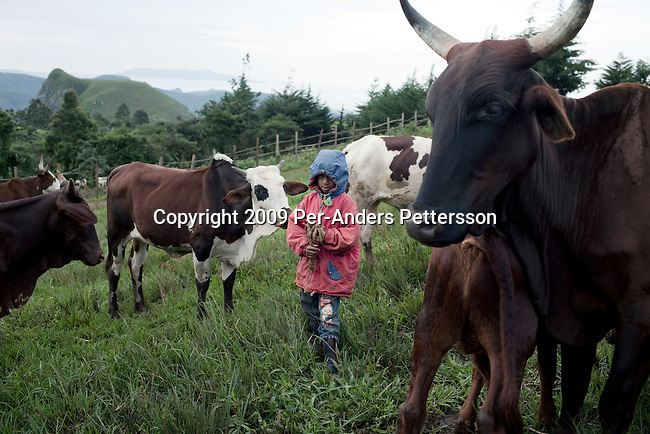 SABGU, CAMEROON - AUGUST 9: A son of Fulani farmer Wakilu Hamidu Haasam's age, 44, tends to the family cows on August 9, 2009 in Sabgu village, Cameroon. Many small farmers in the area are struggling to cope with low milk prices, expensive inputs and competing with low priced milk powder, that is heavily subsidized by European governments and dumped on international markets such as in Africa. (Photo by Per-Anders Pettersson)...