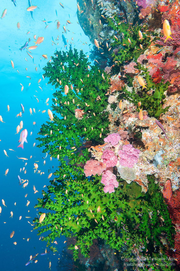 Bligh Waters, Rakiraki, Viti Levu, Fiji; an aggregation of schooling Anthias fish swimming amongst green Black Sun Coral