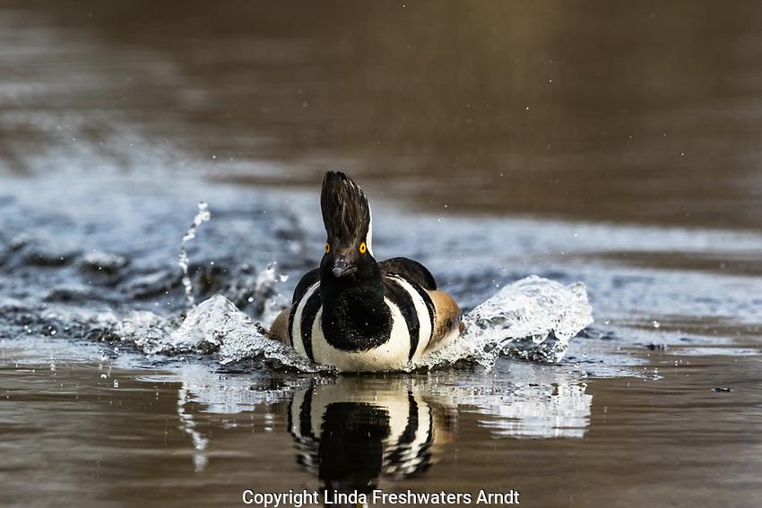 Hooded merganser landing in a northern Wisconsin lake