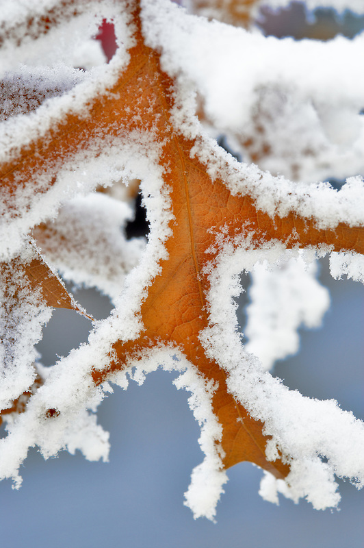 Oak leaf with hoar frost. Wilsonville. Oregon