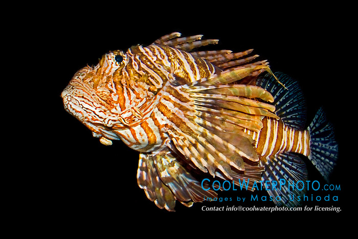 red lionfish or turkeyfish, Pterois volitans, with venomous dorsal spines, Indo-Pacific Ocean (c)