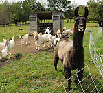 """Goats and a Llama named """"Gead"""", that are among the inhabitants of Heather Ridge Farm, in Preston Hollow, NY on Saturday, Sept. 7, 2013. Photo by Jim Peppler. Copyright Jim Peppler 2013 all rights reserved."""