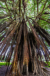 Aerial roots on banyan (Ficus sp.), Hawa'i, USA