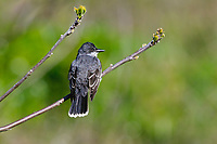 Eastern Kingbird (Tyrannus tyrannus) in Great Lakes region. May.