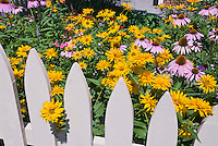 Rudbeckia, Heliopsis and Echinacea picket fence, purple coneflower, black eyed Susan, Heliopsis, yellow and purple color theme bright vivid garden