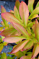 Paeonia lactiflora 'Sarah Berhardt' in fall foliage color peony