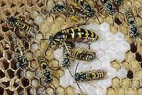Gemeine Wespe, Gewöhnliche Wespe, Königin, Wespennest, Nest, Vespula vulgaris, Paravespula vulgaris, common wasp, yellowjacket, wasps' nest, vespiary