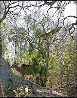 BNPS.co.uk (01202 558833).Pic: EricGurwin/BNPS..***Please use full byline***..He's behind you.....This unsuspecting antelope got the shock of its life after an extremely patient leopard pounced from an incredible height in an unsuccessful attempt to make it lunch...Amateur photographer Eric Gurwin(59) waited for over four hours after spotting the cunning big cat hiding in the top of a tree in Botswana's Okavango delta...The leopard launched itself over 30ft from its hiding place landing on the back of the shocked Kudu. Unfortunately for the leopard the female antelope managed to buck the big cat off before racing off into the bush.