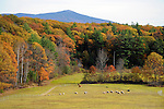 Flock of Sheep Grazing with View of Mt. Monadnock during Fall Season in Chesham, New Hampshire USA