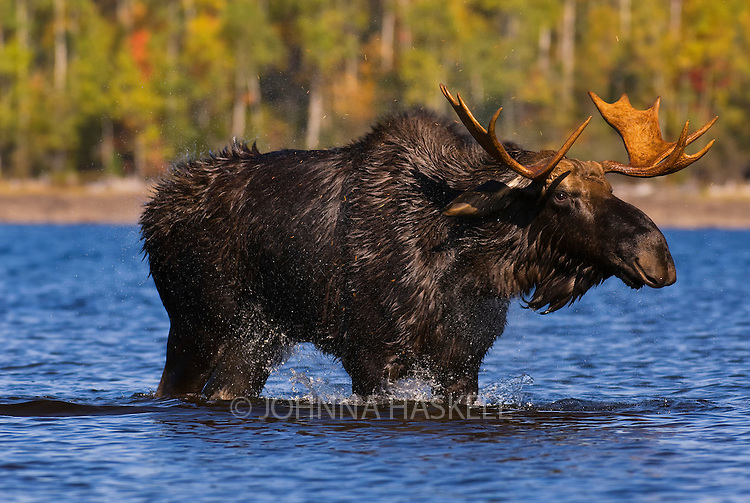 Male moose shaking after swimming or walking across the bottom of Flagstaff Lake in the prime rut season. Luckily as it came closer talking to me, I did not emit the odor it was seeking.