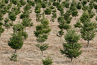 Young saplings at a Christmas tree farm, New Jersey, USA